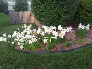 easter lilies_1