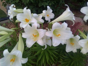 easter lilies_2